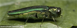 Emerald Ash Borer (EAB) discovered in Nebraska
